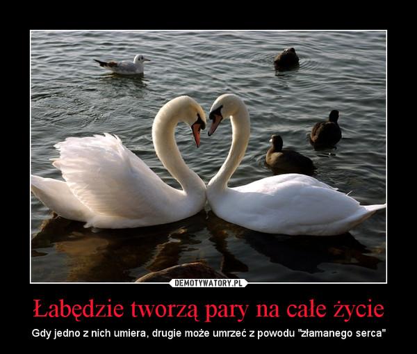 """Łabędzie tworzą pary na całe życie – Gdy jedno z nich umiera, drugie może umrzeć z powodu """"złamanego serca"""""""
