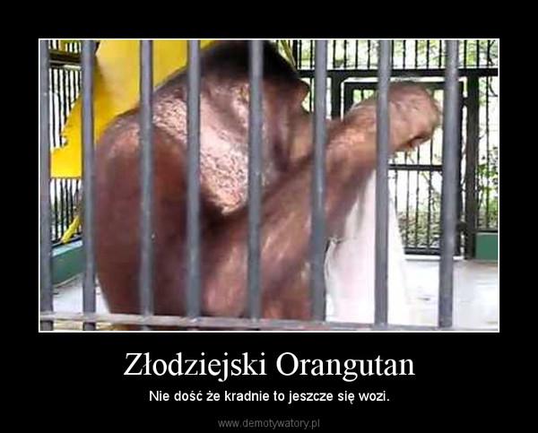 Złodziejski Orangutan – Nie dość że kradnie to jeszcze się wozi.