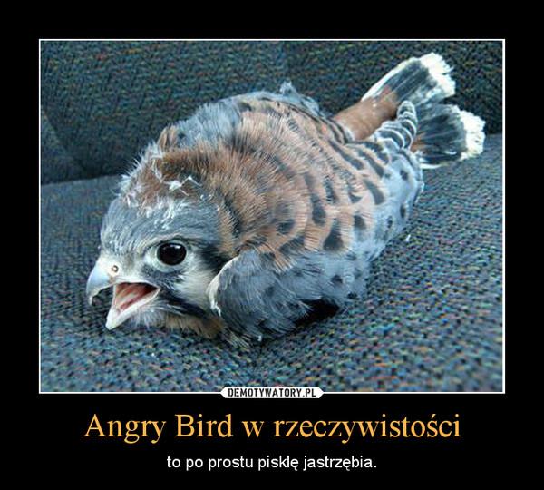 Angry Bird w rzeczywistości – to po prostu pisklę jastrzębia.
