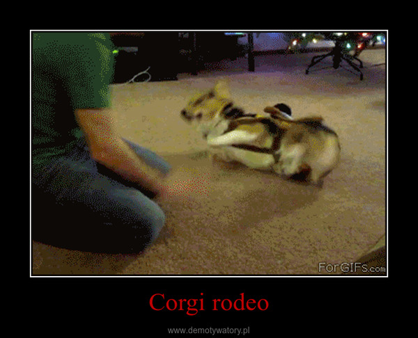 Corgi rodeo –
