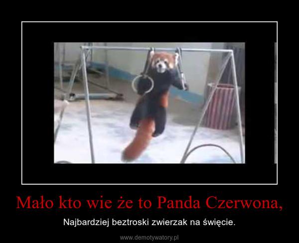 Mało kto wie że to Panda Czerwona, – Najbardziej beztroski zwierzak na święcie.