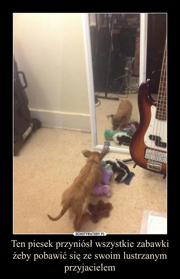Ten piesek przyniósł wszystkie zabawki żeby pobawić się ze swoim lustrzanym przyjacielem –