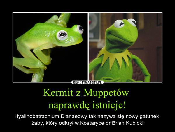Kermit z Muppetów naprawdę istnieje! – Hyalinobatrachium Dianaeowy tak nazywa się nowy gatunek żaby, który odkrył w Kostaryce dr Brian Kubicki
