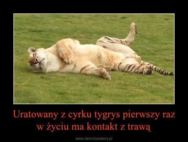 Uratowany z cyrku tygrys pierwszy raz w życiu ma kontakt z trawą –