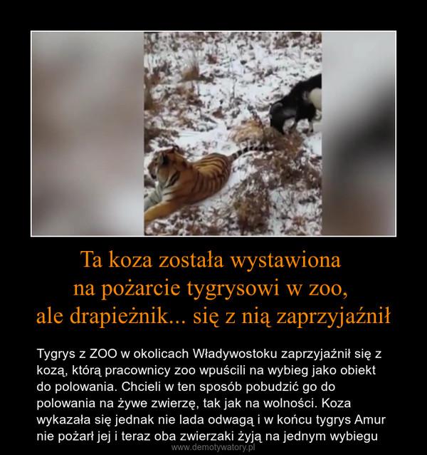 Ta koza została wystawiona na pożarcie tygrysowi w zoo, ale drapieżnik... się z nią zaprzyjaźnił – Tygrys z ZOO w okolicach Władywostoku zaprzyjaźnił się z kozą, którą pracownicy zoo wpuścili na wybieg jako obiekt do polowania. Chcieli w ten sposób pobudzić go do polowania na żywe zwierzę, tak jak na wolności. Koza wykazała się jednak nie lada odwagą i w końcu tygrys Amur nie pożarł jej i teraz oba zwierzaki żyją na jednym wybiegu