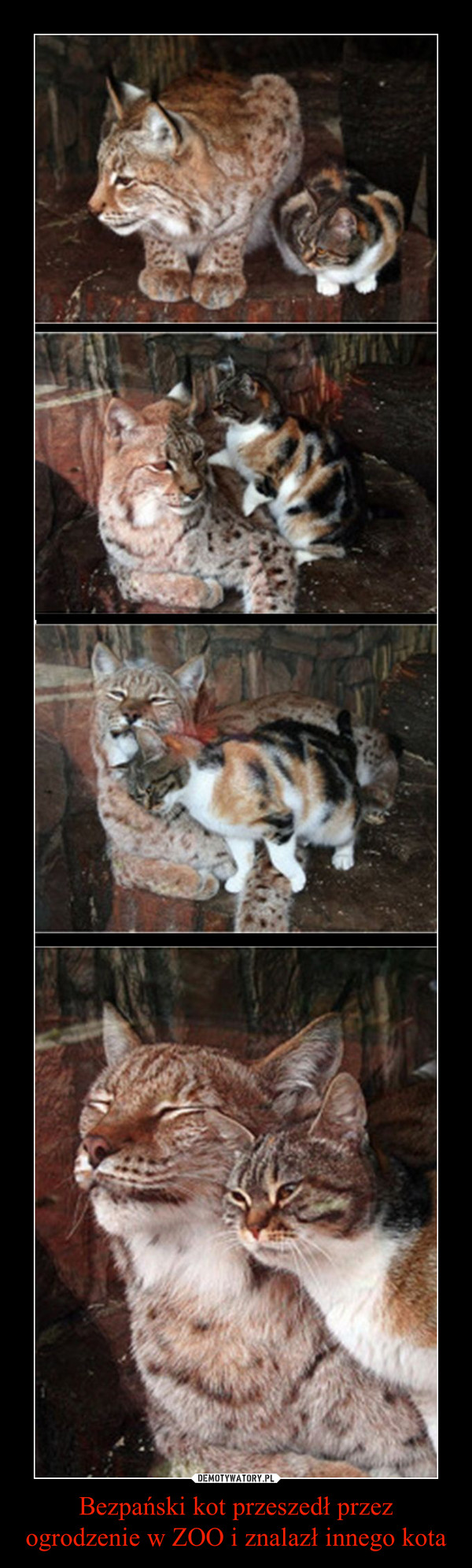 Bezpański kot przeszedł przez ogrodzenie w ZOO i znalazł innego kota –