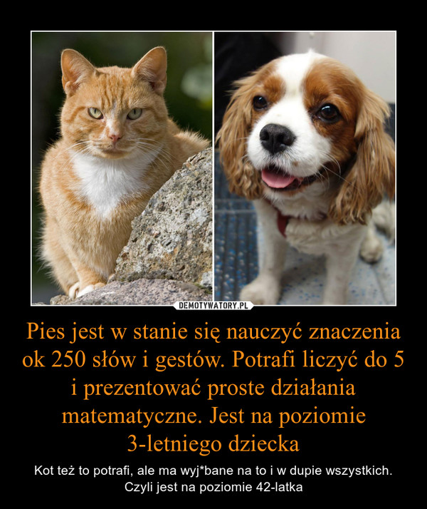 Pies jest w stanie się nauczyć znaczenia ok 250 słów i gestów. Potrafi liczyć do 5 i prezentować proste działania matematyczne. Jest na poziomie 3-letniego dziecka – Kot też to potrafi, ale ma wyj*bane na to i w dupie wszystkich. Czyli jest na poziomie 42-latka