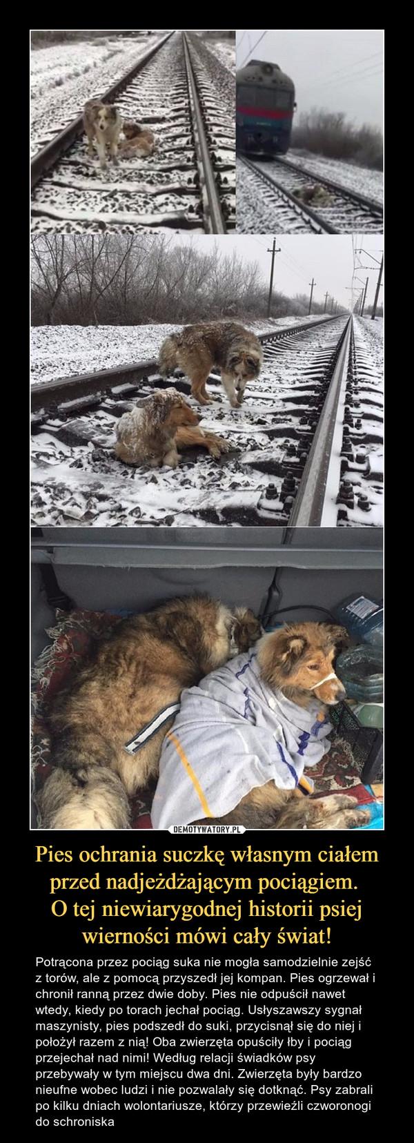 Pies ochrania suczkę własnym ciałem przed nadjeżdżającym pociągiem. O tej niewiarygodnej historii psiej wierności mówi cały świat! – Potrącona przez pociąg suka nie mogła samodzielnie zejść z torów, ale z pomocą przyszedł jej kompan. Pies ogrzewał i chronił ranną przez dwie doby. Pies nie odpuścił nawet wtedy, kiedy po torach jechał pociąg. Usłyszawszy sygnał maszynisty, pies podszedł do suki, przycisnął się do niej i położył razem z nią! Oba zwierzęta opuściły łby i pociąg przejechał nad nimi! Według relacji świadków psy przebywały w tym miejscu dwa dni. Zwierzęta były bardzo nieufne wobec ludzi i nie pozwalały się dotknąć. Psy zabrali po kilku dniach wolontariusze, którzy przewieźli czworonogi do schroniska