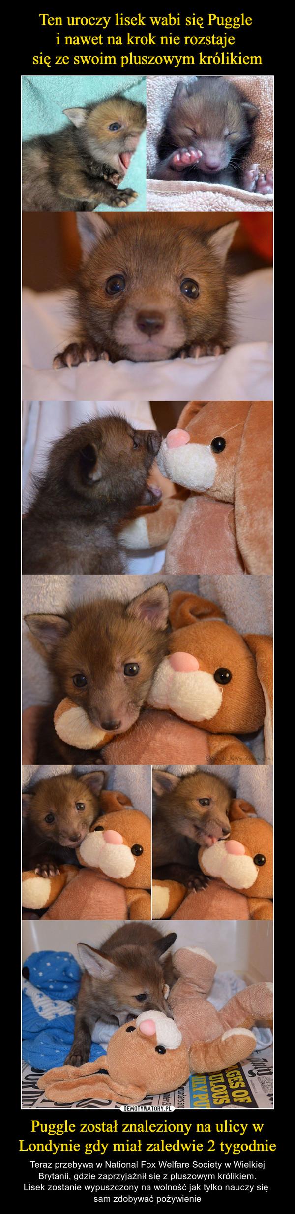 Puggle został znaleziony na ulicy w Londynie gdy miał zaledwie 2 tygodnie – Teraz przebywa w National Fox Welfare Society w Wielkiej Brytanii, gdzie zaprzyjaźnił się z pluszowym królikiem.Lisek zostanie wypuszczony na wolność jak tylko nauczy się sam zdobywać pożywienie