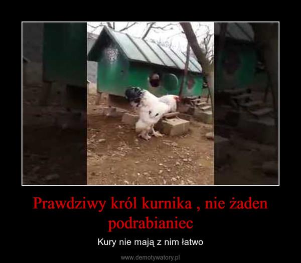 Prawdziwy król kurnika , nie żaden podrabianiec – Kury nie mają z nim łatwo