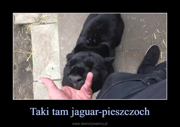 Taki tam jaguar-pieszczoch –