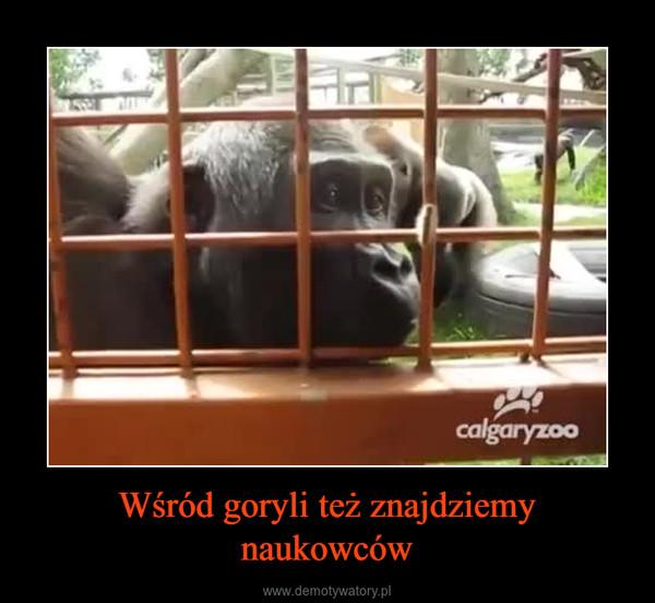 Wśród goryli też znajdziemy naukowców –