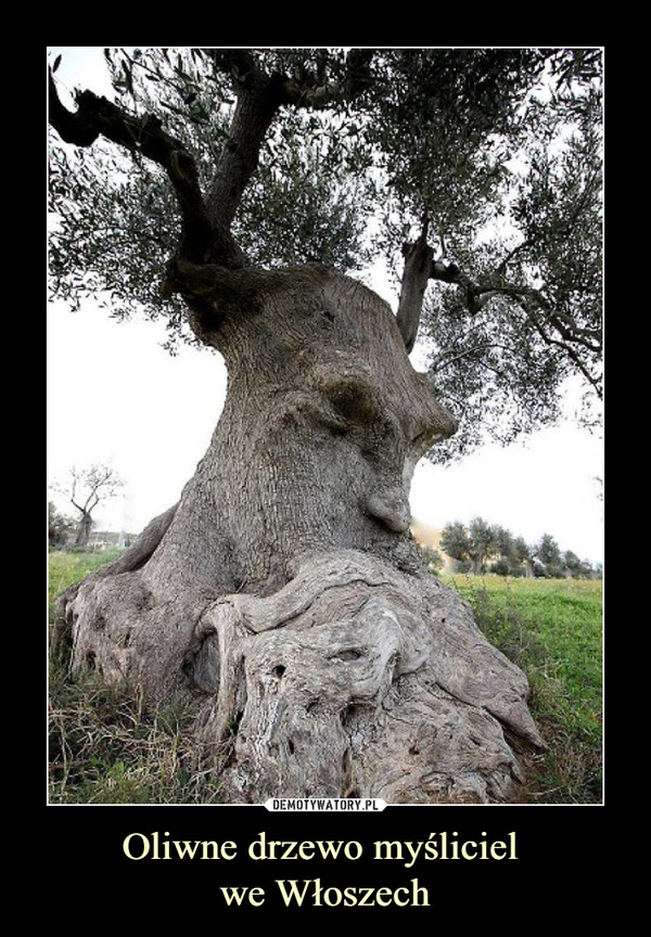 Oliwne drzewo myśliciel we Włoszech –
