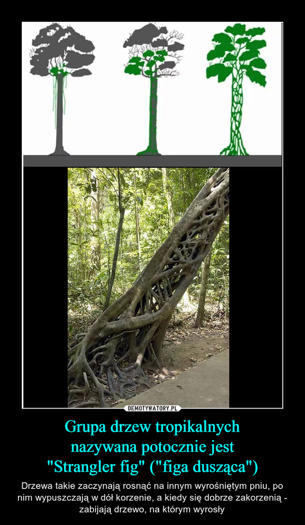 """Grupa drzew tropikalnychnazywana potocznie jest""""Strangler fig"""" (""""figa dusząca"""") – Drzewa takie zaczynają rosnąć na innym wyrośniętym pniu, po nim wypuszczają w dół korzenie, a kiedy się dobrze zakorzenią - zabijają drzewo, na którym wyrosły"""