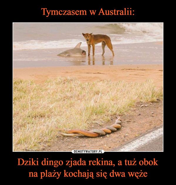 Dziki dingo zjada rekina, a tuż obokna plaży kochają się dwa węże –