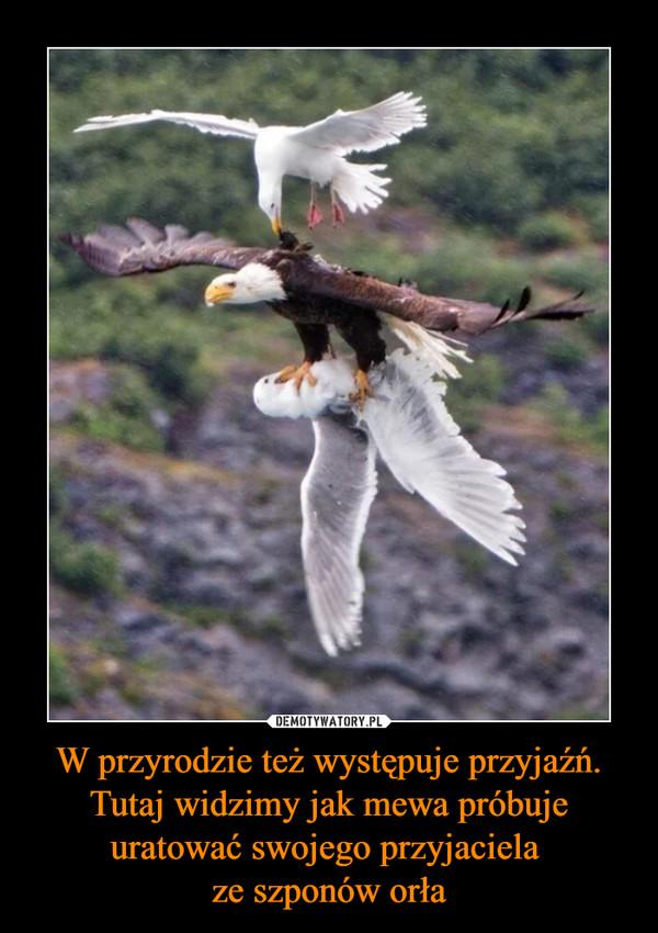 W przyrodzie też występuje przyjaźń. Tutaj widzimy jak mewa próbuje uratować swojego przyjaciela ze szponów orła –