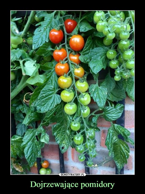 Dojrzewające pomidory –