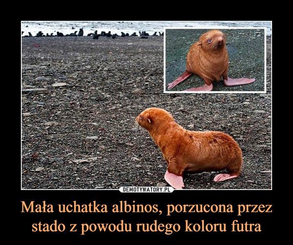 Mała uchatka albinos, porzucona przez stado z powodu rudego koloru futra –