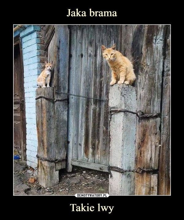 Takie lwy –