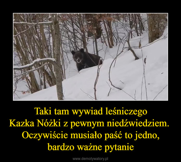 Taki tam wywiad leśniczegoKazka Nóżki z pewnym niedźwiedziem. Oczywiście musiało paść to jedno,bardzo ważne pytanie –