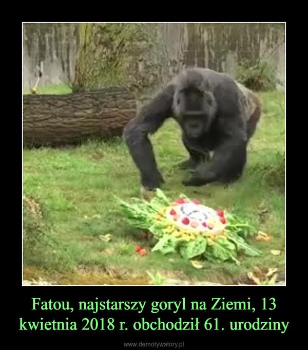 Fatou, najstarszy goryl na Ziemi, 13 kwietnia 2018 r. obchodził 61. urodziny –