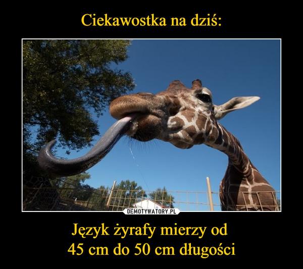 Język żyrafy mierzy od 45 cm do 50 cm długości –