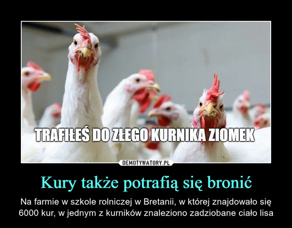 Kury także potrafią się bronić – Na farmie w szkole rolniczej w Bretanii, w której znajdowało się 6000 kur, w jednym z kurników znaleziono zadziobane ciało lisa