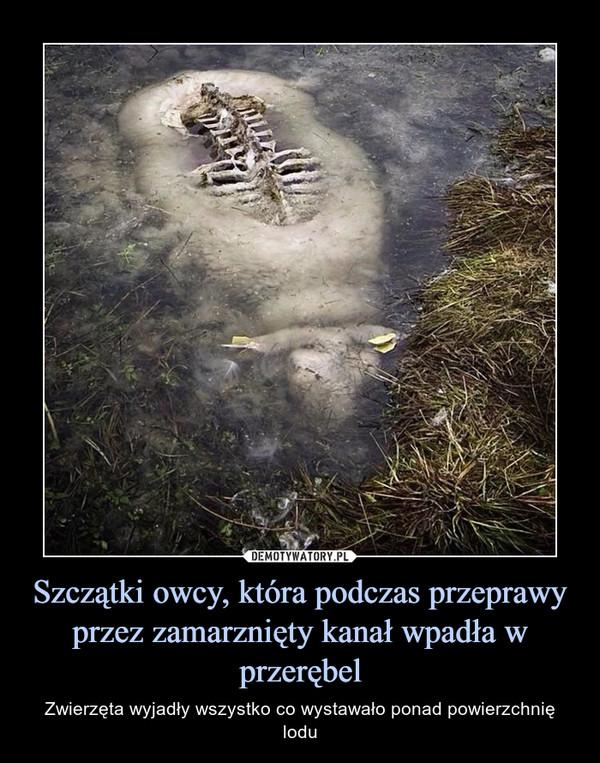 Szczątki owcy, która podczas przeprawy przez zamarznięty kanał wpadła w przerębel – Zwierzęta wyjadły wszystko co wystawało ponad powierzchnię lodu