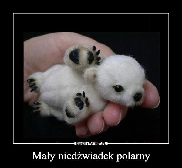 Mały niedźwiadek polarny –
