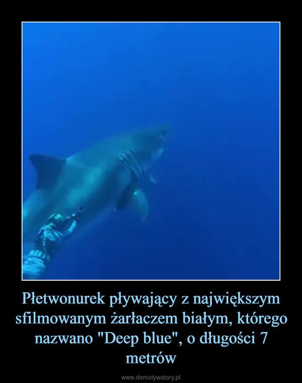 """Płetwonurek pływający z największym sfilmowanym żarłaczem białym, którego nazwano """"Deep blue"""", o długości 7 metrów –"""