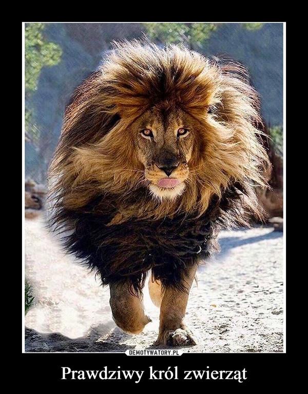 Prawdziwy król zwierząt –