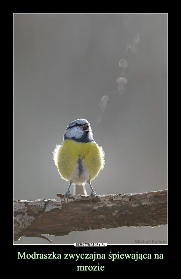 Modraszka zwyczajna śpiewająca na mrozie –