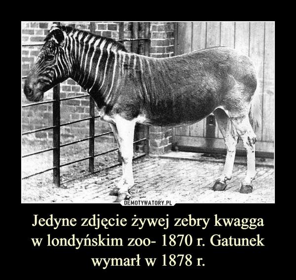 Jedyne zdjęcie żywej zebry kwaggaw londyńskim zoo- 1870 r. Gatunek wymarł w 1878 r. –