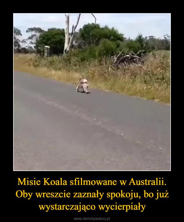 Misie Koala sfilmowane w Australii. Oby wreszcie zaznały spokoju, bo już wystarczająco wycierpiały –