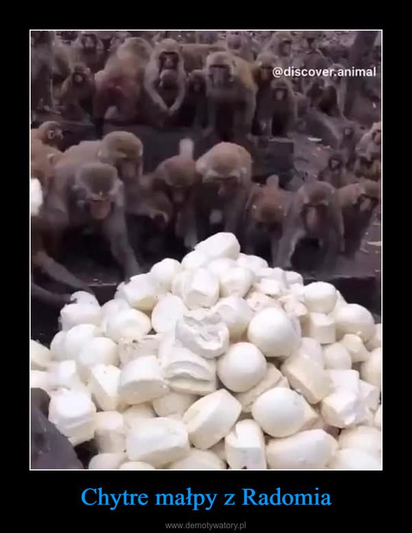 Chytre małpy z Radomia –