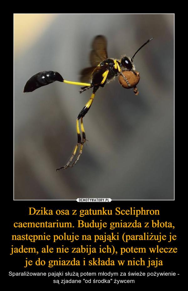 """Dzika osa z gatunku Sceliphron caementarium. Buduje gniazda z błota, następnie poluje na pająki (paraliżuje je jadem, ale nie zabija ich), potem wlecze je do gniazda i składa w nich jaja – Sparaliżowane pająki służą potem młodym za świeże pożywienie - są zjadane """"od środka"""" żywcem"""