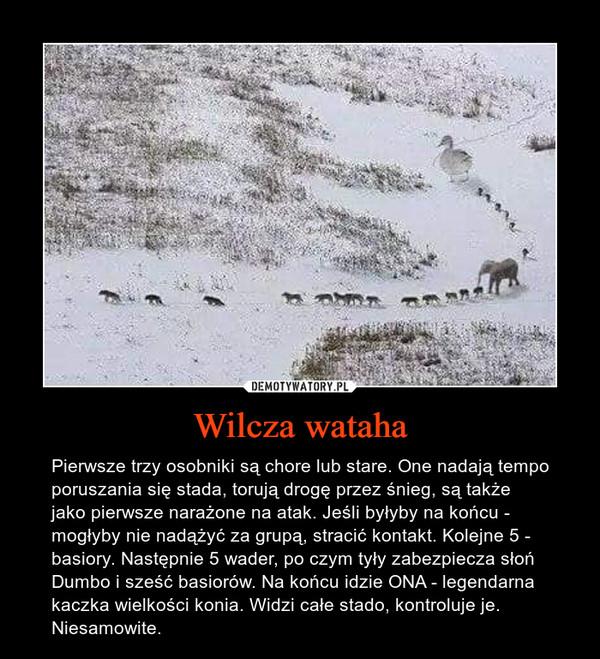 Wilcza wataha – Pierwsze trzy osobniki są chore lub stare. One nadają tempo poruszania się stada, torują drogę przez śnieg, są także jako pierwsze narażone na atak. Jeśli byłyby na końcu - mogłyby nie nadążyć za grupą, stracić kontakt. Kolejne 5 - basiory. Następnie 5 wader, po czym tyły zabezpiecza słoń Dumbo i sześć basiorów. Na końcu idzie ONA - legendarna kaczka wielkości konia. Widzi całe stado, kontroluje je.Niesamowite.