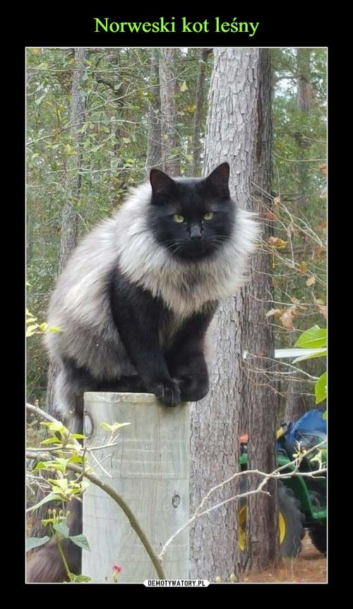 Norweski kot leśny