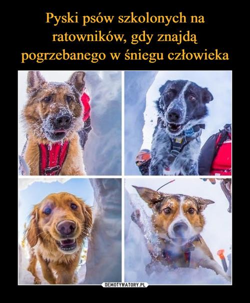 Pyski psów szkolonych na ratowników, gdy znajdą pogrzebanego w śniegu człowieka