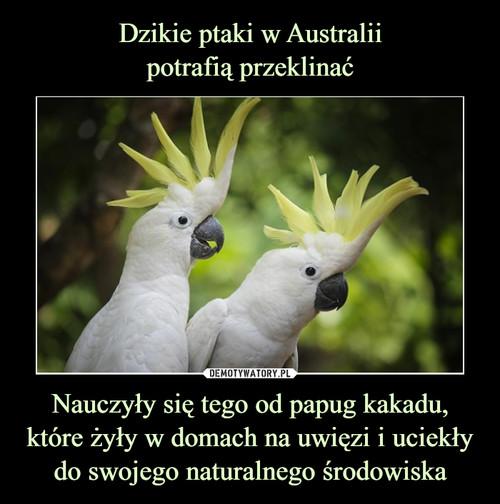 Dzikie ptaki w Australii potrafią przeklinać Nauczyły się tego od papug kakadu, które żyły w domach na uwięzi i uciekły do swojego naturalnego środowiska