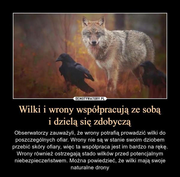 Wilki i wrony współpracują ze sobąi dzielą się zdobyczą – Obserwatorzy zauważyli, że wrony potrafią prowadzić wilki do poszczególnych ofiar. Wrony nie są w stanie swoim dziobem przebić skóry ofiary, więc ta współpraca jest im bardzo na rękę. Wrony również ostrzegają stado wilków przed potencjalnym niebezpieczeństwem. Można powiedzieć, że wilki mają swoje naturalne drony