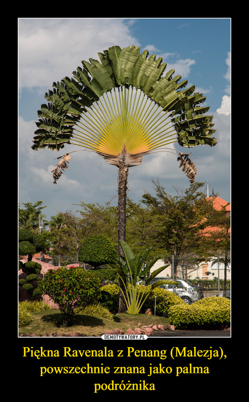 Piękna Ravenala z Penang (Malezja), powszechnie znana jako palma podróżnika