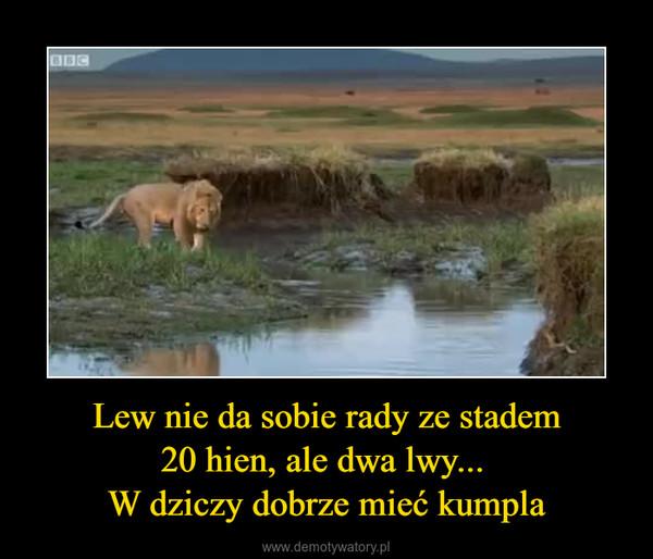 Lew nie da sobie rady ze stadem20 hien, ale dwa lwy... W dziczy dobrze mieć kumpla –