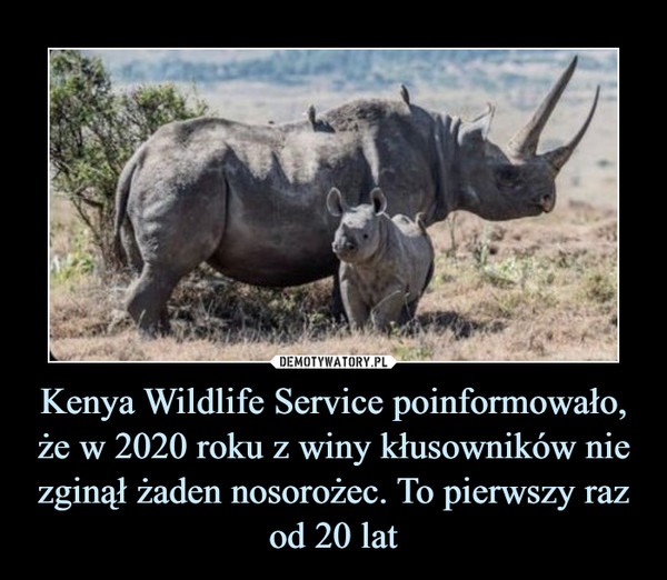 Kenya Wildlife Service poinformowało, że w 2020 roku z winy kłusowników nie zginął żaden nosorożec. To pierwszy raz od 20 lat –