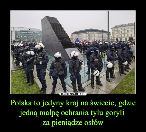 Polska to jedyny kraj na świecie, gdzie jedną małpę ochrania tylu goryli  za pieniądze osłów