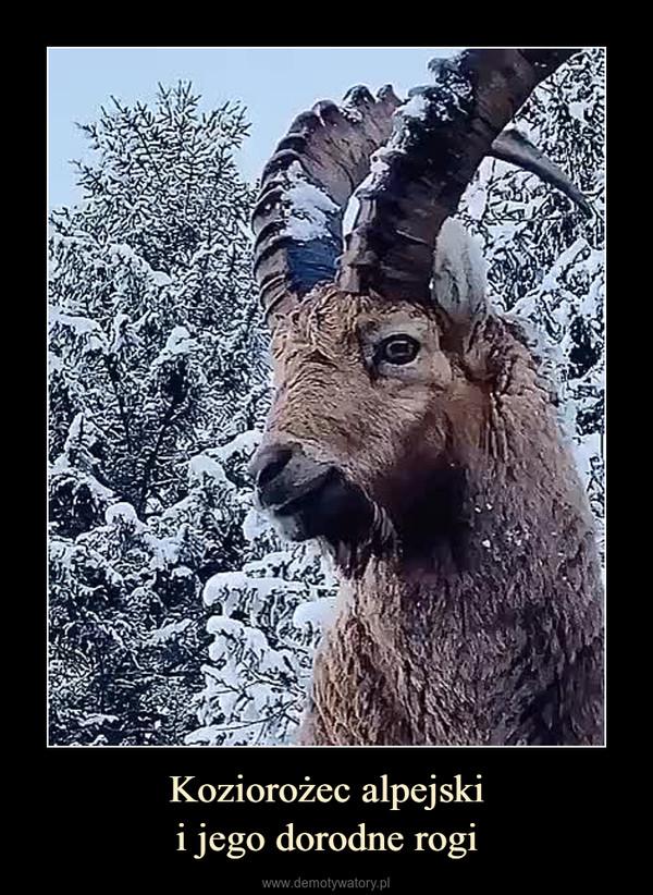 Koziorożec alpejskii jego dorodne rogi –